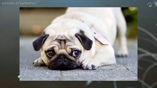 getlinkyoutube.com-10 Najmniejszych psów świata | SpinkaFun