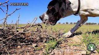 getlinkyoutube.com-Perros de caza  Pointers