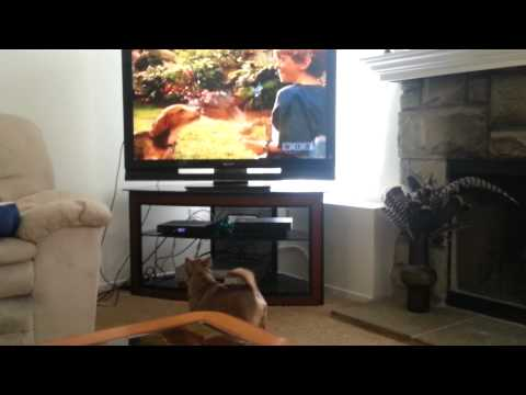 Dog watching Cats and Dogs Movie on TV. FUNNY!