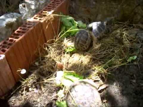 Tortoises  mating ( turtlles),parenje kornjaca,zanimljivo
