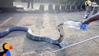 Thirsty Cobra Gets Drink From Kind Men | The Dodo