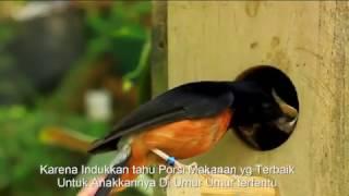 Murai Lolohan Alami Ternyata Menghasilkan Anakkan calon Juara - Ternak Burung Murai Aviary
