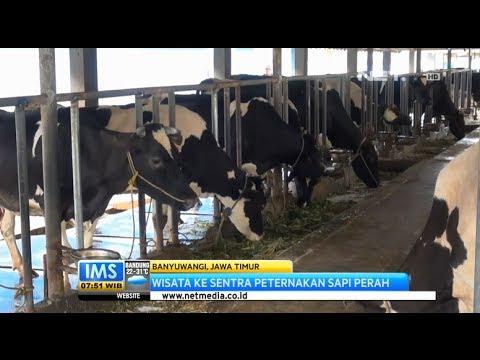 IMS - Berwisata ke sentra peternakan sapi perah di Banyuwangi
