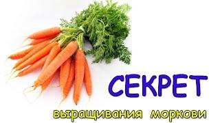 Секрет выращивания моркови. Как вырастить отличную морковь?