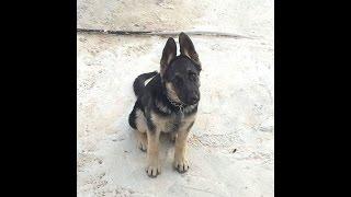 getlinkyoutube.com-كلب ال جيرمن شيبرد عمر 4 شهور فقط مع جمال العمواسي
