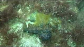 ヤマドリ Neosynchiropus ijimae