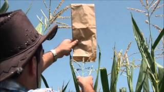 Oryctes.com - Come effettuare l'impollinazione manuale del mais