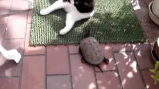 getlinkyoutube.com-猫と遊ぶカメ    Turtle and Cat