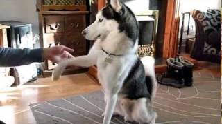 getlinkyoutube.com-Husky tricks