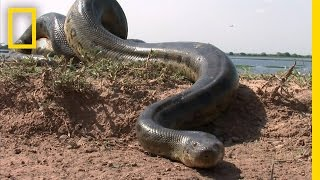 getlinkyoutube.com-5 Grown Men Vs. 1 Big Snake | National Geographic
