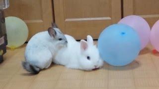 getlinkyoutube.com-チンチラのマッサージをうけるウサギ The rabbit a chinchilla massages
