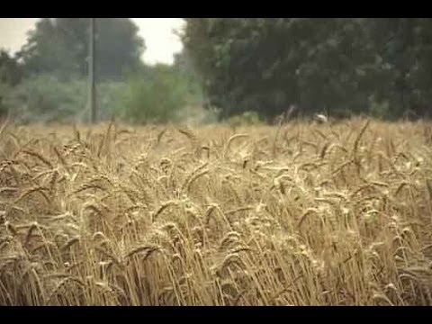Dunya News-Untimely rain delays wheat harvesting in Multan