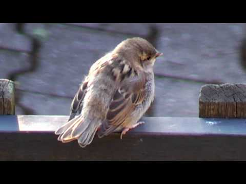 young sparrow bird sitting on fence