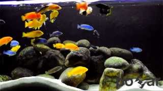 getlinkyoutube.com-Malawi Cichlids - feeding frenzy