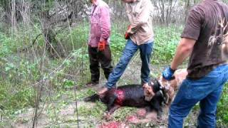 getlinkyoutube.com-Hunting hogs with dogs and knives Not So Boar'N style
