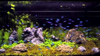 getlinkyoutube.com-100 cardinal tetra in an aquascaping tank