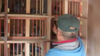 getlinkyoutube.com-imperechere porumbei din matca