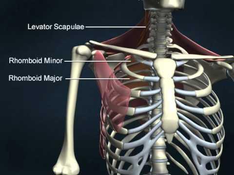 pectoral girdle 2