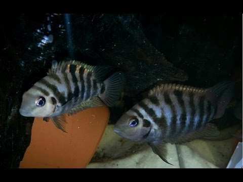 How To Breed Convict Cichlids