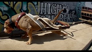 getlinkyoutube.com-The World's Strongest Pit Bulls use Bully Max