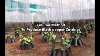 getlinkyoutube.com-Column Method To Produce Black Pepper Cuttings