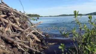 getlinkyoutube.com-Swimming underwater into a beaver lodge