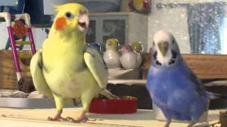getlinkyoutube.com-Violet, my budgie annoying Birdie my cockatiel
