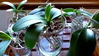 getlinkyoutube.com-Converting your orchids to water culture.  What to expect the first month.