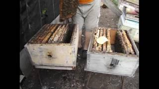 getlinkyoutube.com-нет суши, что делать? ( расширение гнезда у пчел одной вощиной ) - методика Ужакина И. В.