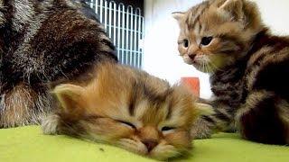 Too sleepy Kitten . Too Cute  , AWW