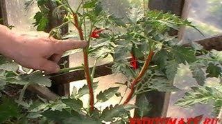 getlinkyoutube.com-Лучшие (томаты) помидоры - Формирование кустов