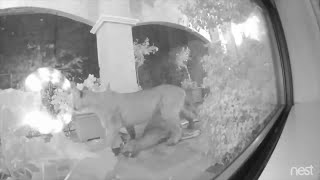Mountain Lion Kills Wandering Deer at San Francisco Front Porch