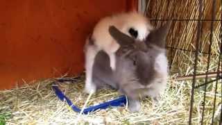 Kaninchen auf Verfolgung - Rammeln- Revierkampf II
