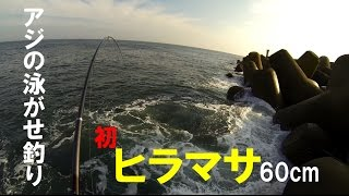getlinkyoutube.com-アジの泳がせ釣りで念願のヒラマサゲット!