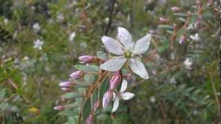 BUCHÚ: Agathosma crenulata (www.riomoros.com)