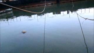 getlinkyoutube.com-Pescuit la avat iarna cu musca artificiala 31 12 2012