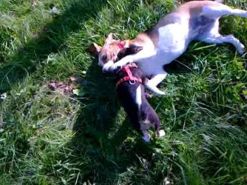 Beagle - walki psów :)