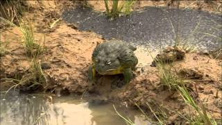 Bullfrog Dad Protects His Tadpoles width=