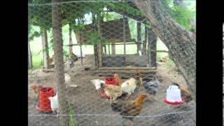 getlinkyoutube.com-Proyecto Gallinas criollas
