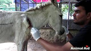 getlinkyoutube.com-Wounded and bleeding donkey stranded on highway rescued