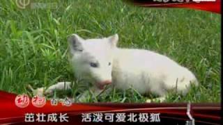 getlinkyoutube.com-20091222媒体大搜索-茁壮成长  活泼可爱北极狐1250.wmv