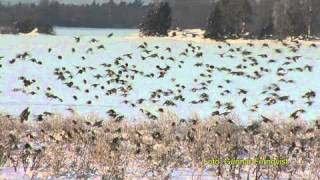 getlinkyoutube.com-STEGLITS European Goldfinch  (Carduelis carduelis)  Klipp - 173