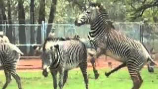 getlinkyoutube.com-ZEBRAS GONE WILD!!! x264