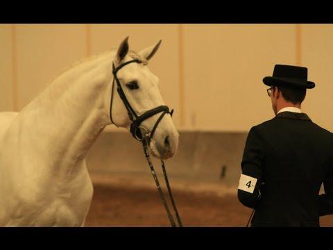 D Unico Lusitano horse approved as a Lusitano stallion semen available