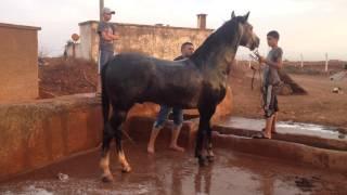 getlinkyoutube.com-fantasia tbourida beni drar cheval cameleon reggada oujda taza fes rabat maroc