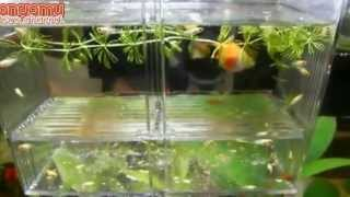 getlinkyoutube.com-Ikan Platy Hamil Melahirkan Burayak - Pregnant Platy Fish Giving Birth