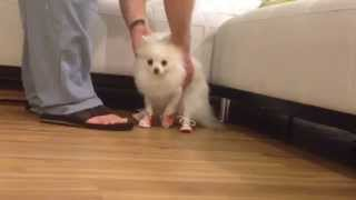 getlinkyoutube.com-Coconut Wears Dog Shoes - Puppy Vlog