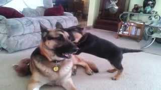 Pastor alem�n juega con su cachorro