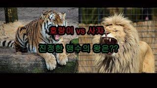 getlinkyoutube.com-[슈퍼좀비TV] 사자vs호랑이 누가 더 강할까??