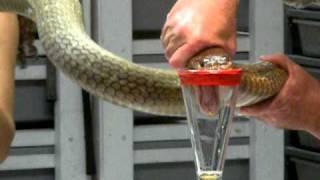 getlinkyoutube.com-King Cobra Venom Extraction